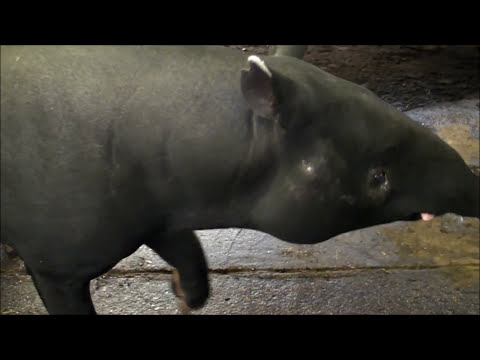 Rare Baby Malayan Tapir Born at Wild Animal Park