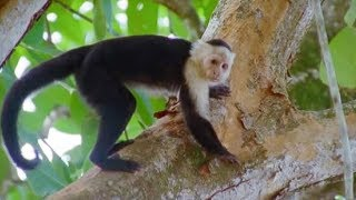 Capuchin Monkeys | Wild Caribbean | BBC Earth