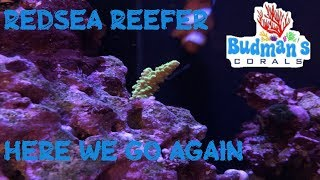 Red Sea Reefer 250 | Budman's Corals | Jumping Into SPS With A Variety Pack