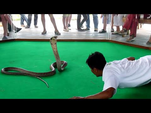 Королевская кобра кусает человека..King Cobra bites a man