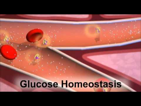 Insulin and the Regulation of Glucose in the Blood