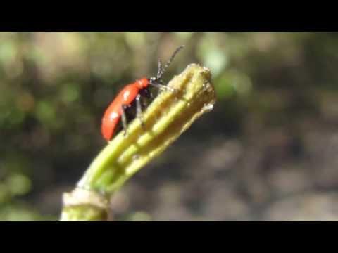 Lily beetle eating Lilium - Lilioceris lilii - Liljubjalla -  að borða lilju - Bjöllur - Skordýr