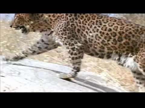 Leopard Attacks in africa