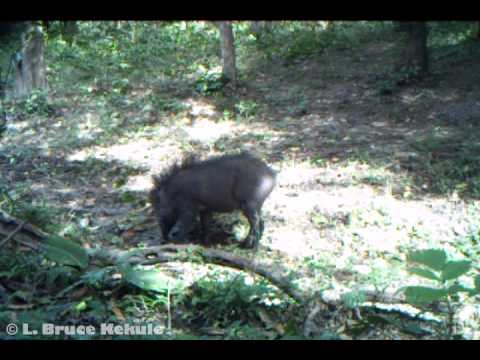 A mature wild boar caught by Bushnell Trophy Cam in Huai Kha Khaeng Wildlife ...