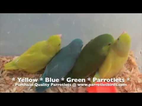 Parrotlet For Sale Philippines Green Parrotlets Sale