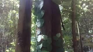 Download Lagu INILAH Pohon Langka Kayu Belian atau Ulin atau besi yang ada di hutan belantara kalimantan Gratis STAFABAND