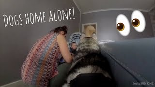 My Dogs reaction to being HOME ALONE!! [SPYCAM ON HUSKIES]