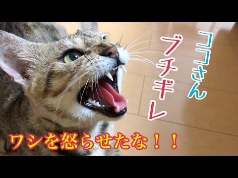 野良保護猫ココさんブチギレ!?「シャー」連発に高速猫パンチ!