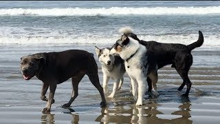 "Dogs Meet at ""Dog Beach"" in Cayucos, California"