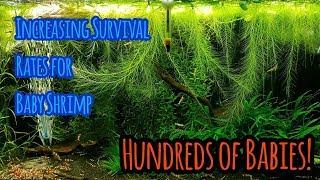 Increasing Baby Shrimp Survival Rates