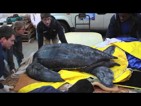 Download  Rare giant leatherback sea turtle washes up on South Carolina beach Gratis, download lagu terbaru