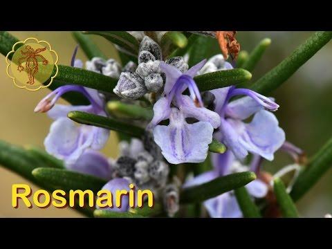 Heilpflanze: Rosmarin