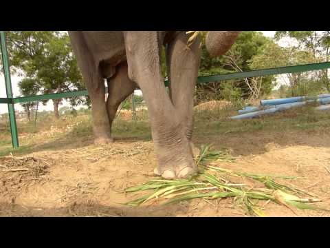 Raju the elephant, free at last!
