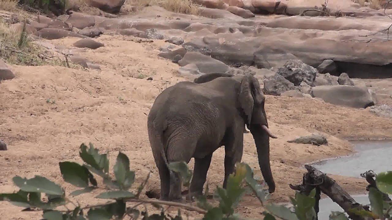 Elephant Kills Crocodile Elephant Disturbs a Crocodile
