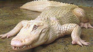 Rare Albino Alligator Finds Tranquility in Safe Space