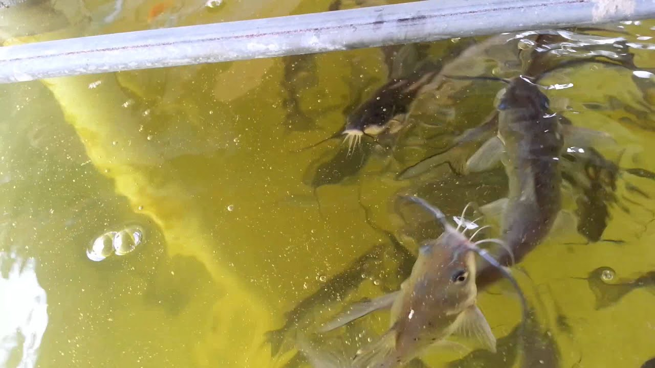 8 aquaponics catfish progression in system youtube for Catfish aquaponics