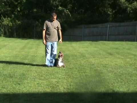 www.EliteK-9Kennels.com Blue Pit bull Puppies for sale Dog Training ,Personal protection Video