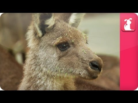Bindi & Robert Irwin feature - Kangaroos (Amy) - Growing Up Wild.