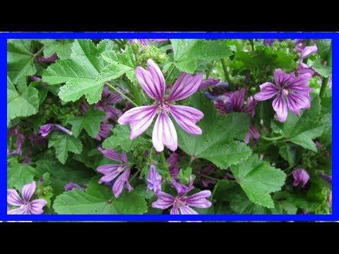 Wilde Malve Heilpflanze