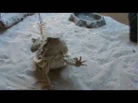 Bearded Dragon head bobbing and arm waving at the same time.