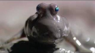 Mudskipper: a fish that lives on land