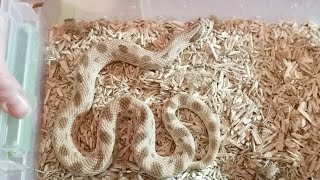 Live Hognose Egg Cutting