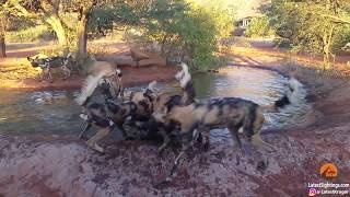 Unsuspecting warthog finds itself in hot water with a pack of wild dogs