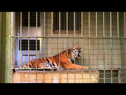トラ vs ライオン in 浜松市動物園 Tiger vs Lion in Hamamatsu city zoo.