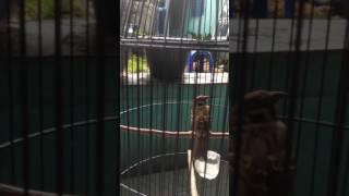 A3 BIRD FARM : SUARA GREJA GACOR UNTUK MASTERAN