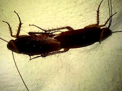 reproductive system of cockroach pdf