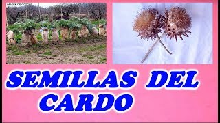 Como Obtener Semillas Del Cardo Comestible // How to Get Edible Thistle Seeds