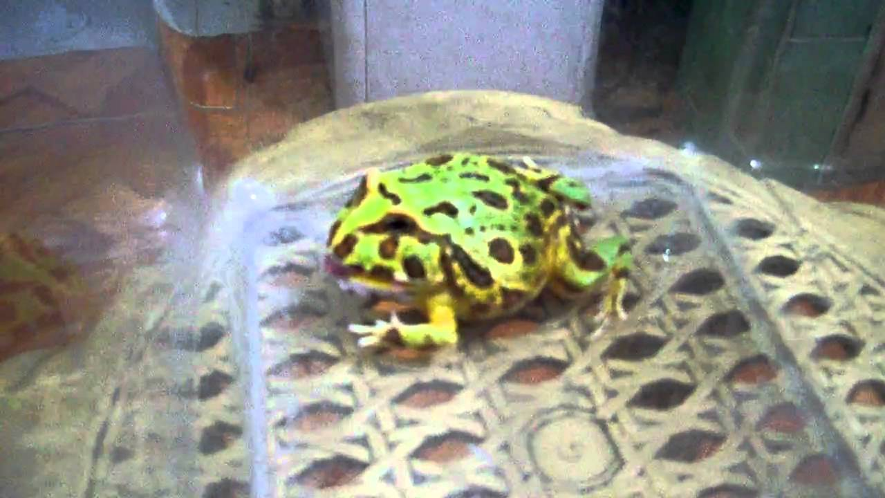 The prehistoric Pac Man frog that ate small dinosaurs