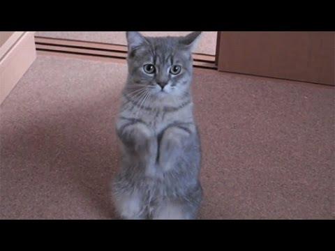 Kucing Comel Meminta Makan Pada Tuannya