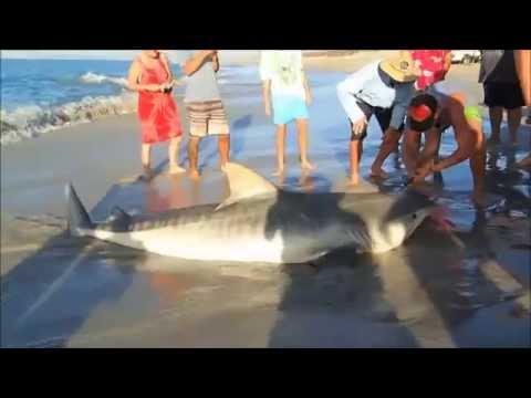 400KG TIGER SHARK! caught by accident in Western Australia