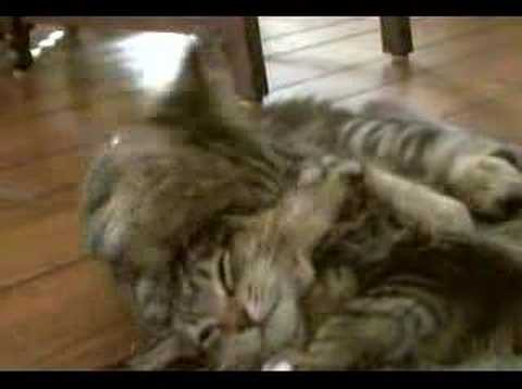 Maine Coon Kittens First Meet
