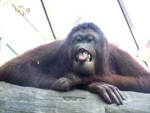 Monkeys Making Funny Faces Monkey / Ape Making Funny