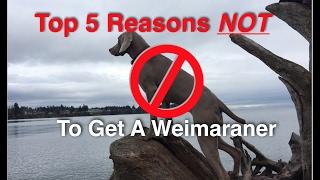 Top 5 Reasons NOT To Get A Weimaraner