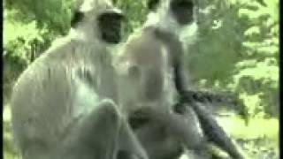 Ghana monkeys in love
