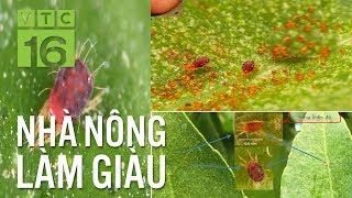 Bí kíp diệt nhện đỏ hại cây bưởi | VTC16