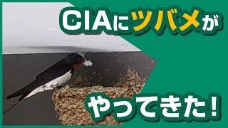 CIAにツバメがやってきた!