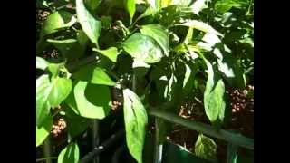 Aquaponics Update Fall 2013