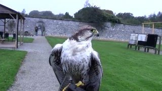 Falconry in Adare Ireland  Falcons as you