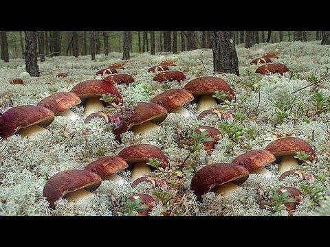 За белыми грибами