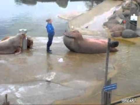 León marino haciendo abdominales