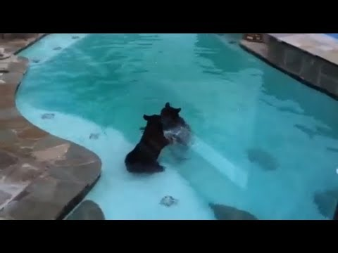 Download A Bear Family Takes A Dip In Our Pool Part Iii Youtube Video To 3gp Mp4 Mp3