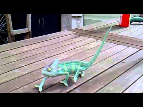 Chameleon walking