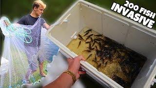 Capturing 200+ Invasive Fish For Feeding! (INSANE)