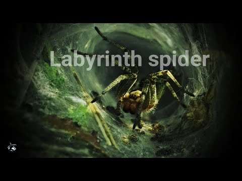 Agelena labyrinthica - The Labyrinth spider