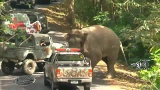 เรื่องเล่าเช้านี้ พบช้างป่าโผล่เดินบนถนนที่เขาใหญ่ คาดได้กลิ่นปิ้งย่างอาหารของนทท.