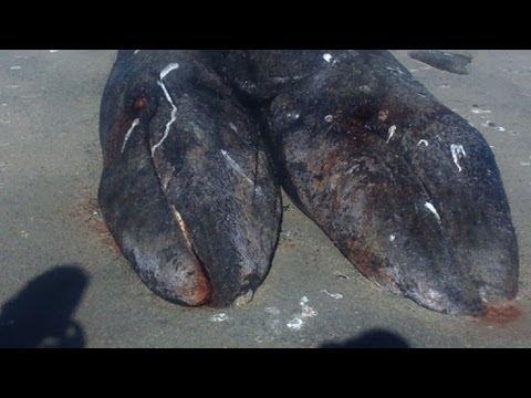 Baleias siamesas no México